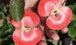 Как называется сорт яблок розовых внутри